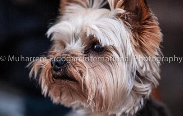 yorkshire terrier – 13 – 06 – 2015
